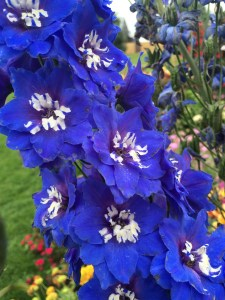 New Zealand Delphiniums!