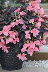 Begonia 'Cocoa Enchantment'