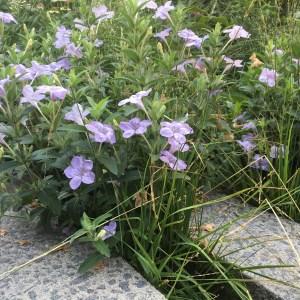 Ruellia simplex- Wild Petunia