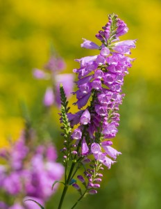 Physostegia virginiana (The Obedient Plant)