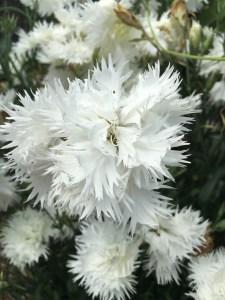 Dianthus TBC