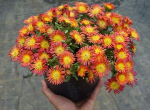 Delosperma Wheels of Wonder ® Fire Wonder