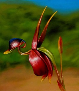 Unusual plants: Flying duck orchid