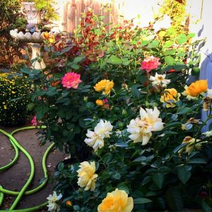 5 tips for growing roses - A selection of roses