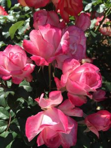 5 tips for growing roses - Pink Roses