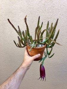 Stapelias: Leendertziae plant and flower