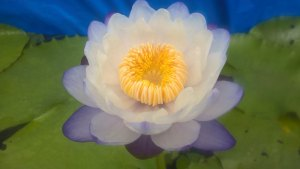Water Lilies: My Hybrid N' Fortune Teller - First Day of Flower