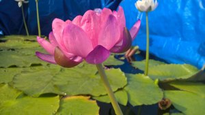 Water Lilies: My Hybrid N' Fortune Teller - Fourth Day of Flower
