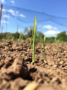 Grow your own craft beer: Barley sprouting