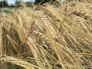 Grow your own craft beer: Barley