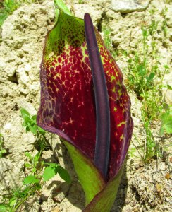 Unusual Plants - Arum dioscoridis in Cyprus