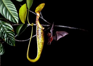 Unusual Plants - The bat pitcher plant