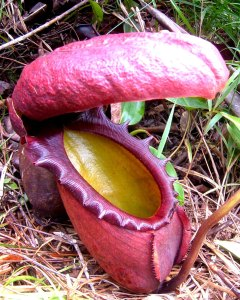 Unusual plants - King pitcher plant