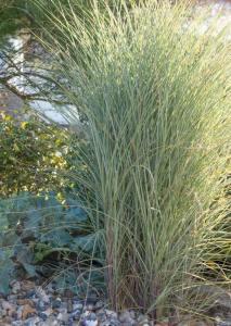 Coastal Garden: Miscanthus sinensis