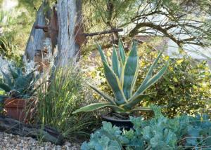 Coastal Garden: Agave