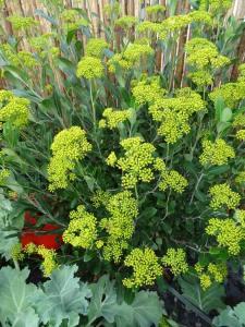 Coastal Garden: Bupleurum fructicosum