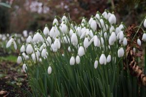 Galanthus 'S. Arnott' Cornovium Snowdrops