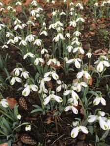 Galanthus 'Trumps' Cornovium Snowdrops