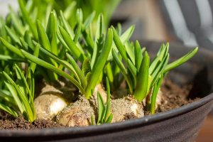 Gardening jobs: Feed and deadhead bulbs