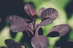 Gardening jobs: Hard prune Cotinus, Catalpa or Paulownia