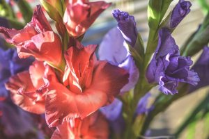 Gardening jobs: Plant Gladioli