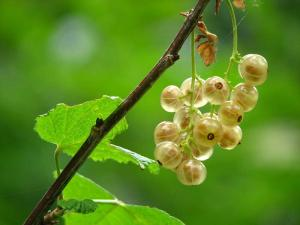 Gardening jobs for December: Gooseberries