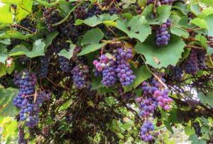 Prune grape vines