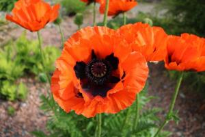 Gardening jobs for July: Cut back oriental poppies after flowering