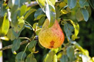 Gardening jobs for June: Thin fruit