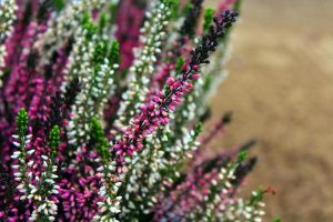 Gardening jobs: Trim heather