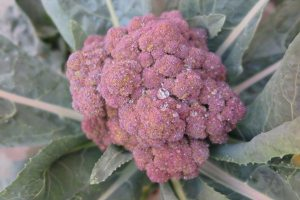 Gardening Jobs: Harvest purple sprouting Broccoli