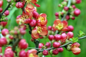 Gardening jobs for May: Prune Early spring flowering shrubs