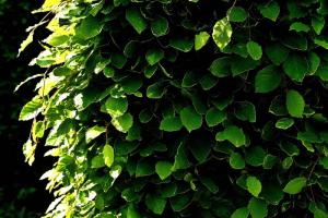 Gardening jobs for May: Clip Laurel hedges