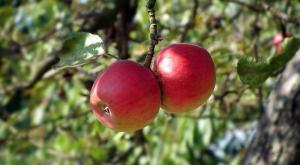 Gardening jobs for November: Apply grease bands to fruit trees