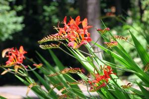 Gardening jobs for November: Cut back Crocosmia