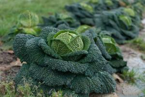 Gardening jobs for October: Plant out spring cabbage