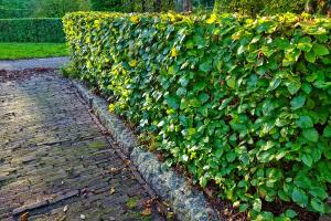 Gardening jobs for September: Trim evergreen hedges