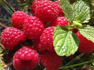 Gardening jobs for September: Pick raspberries