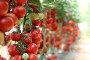 Gardening jobs for September: Ripen tomatoes