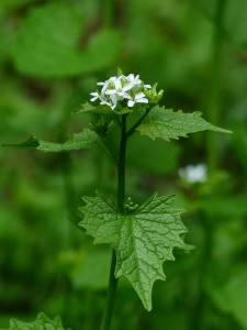 Edible Weeds: Garlic Mustard