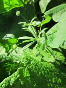 Edible Weeds: Goosegrass