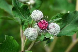 Plant Evolution: Burdock