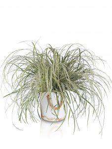 Tough Grass