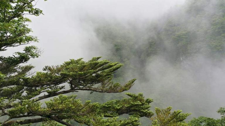 Japanese Plants: Cedar