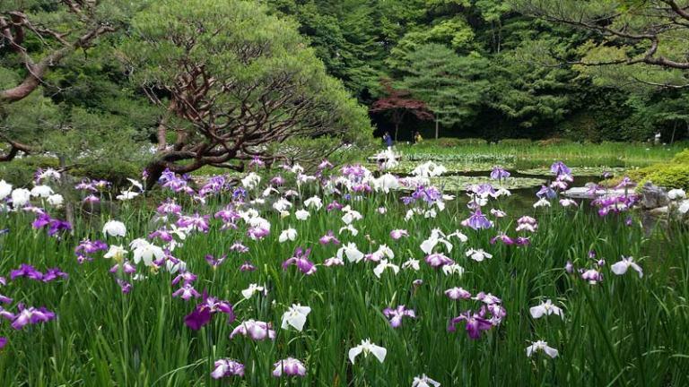Japanese Plants: Iris