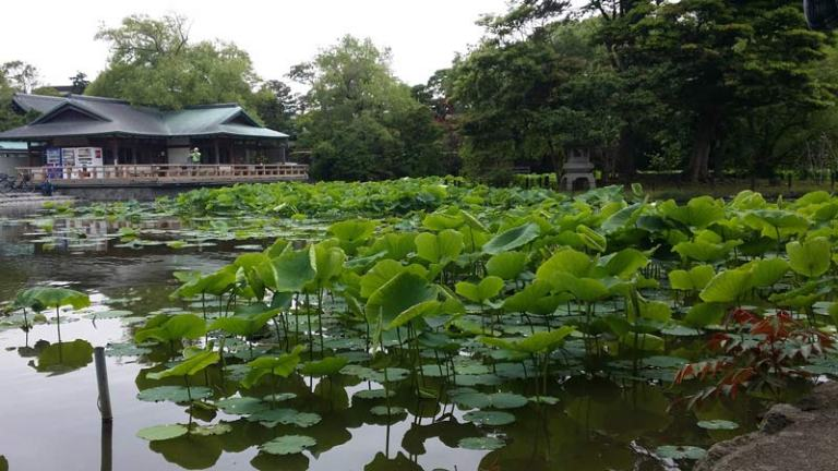 Japanese Plants: Lotus