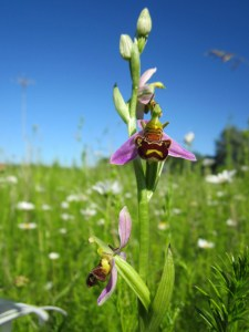 How to Spot Bee Orchids