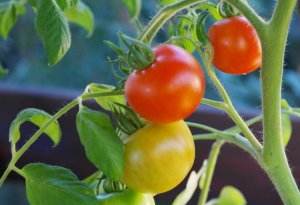 Plants for kids: Tomatoes