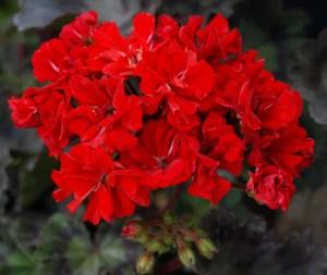 Pelargonium: Miniature Zonal 'Brixworth Rosebud'