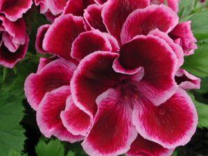 Regal Pelargonium 'Olivia' is in intensive care!